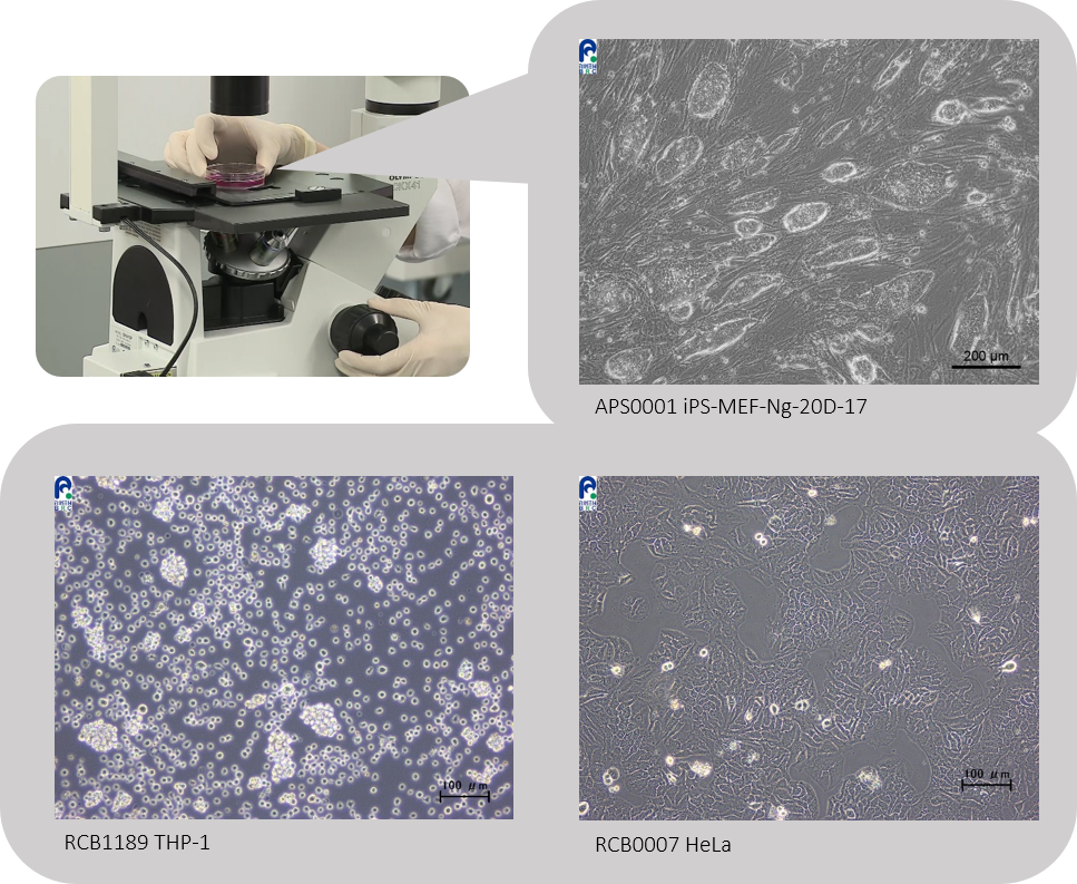 Compare the morphological photos of each cell line with the ones recorded previously and check if there is no abnormality