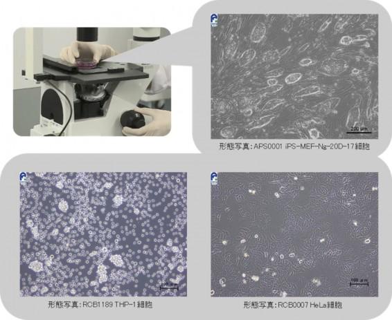 4DG細胞形態_図